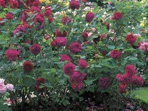 Как вырастить розы «фальстаф» у себя на участке