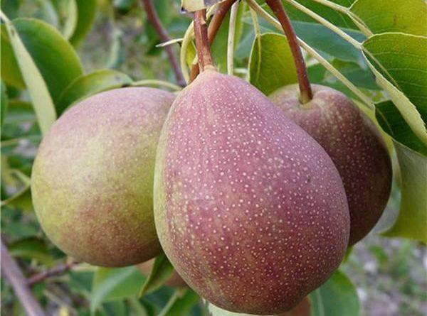 Груша мраморная: советы по выращиванию сладкой красавицы