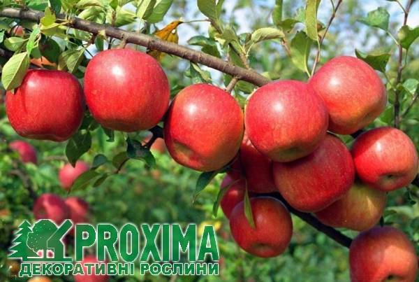 Яблоня фуджи: описание, фото, отзывы