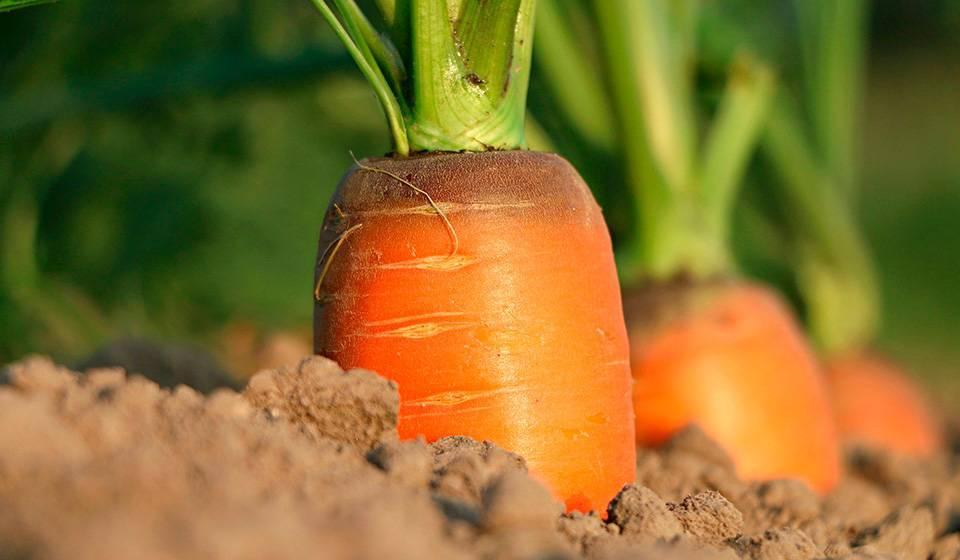 Что сажать после моркови на следующий год?