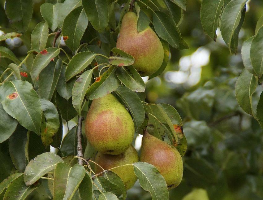 Груша сорта просто мария: описание и выращивание растения