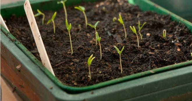 Подкормка рассады огурцов в домашних условиях и на огороде: чем и как правильно подкармливать, рецепты различных удобрений