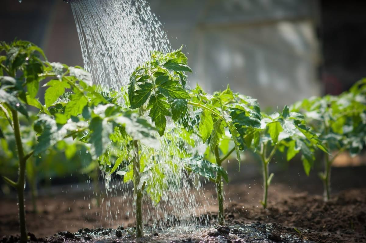 Полив картофеля и его влияние на урожайность. полив картофеля в открытом грунте - основные правила, сроки и нормы