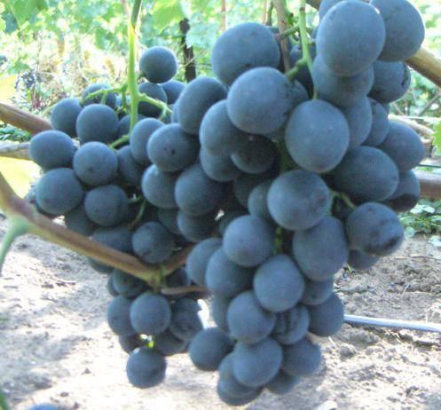 Описание и характеристики сорта винограда страшенский, посадка и выращивание