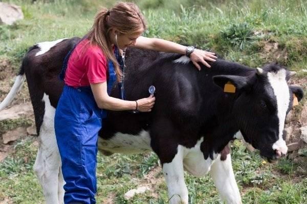 Особенности развития ацидоза у коров, симптомы, диагностика и лечение