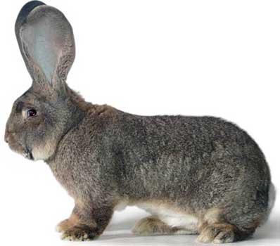 Кролики ризен: разведение и уход
