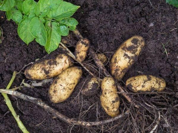 Картофель рокко