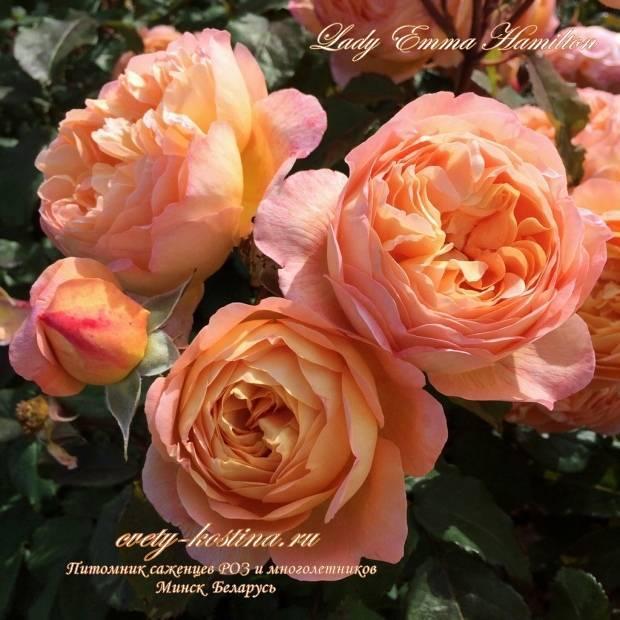 В каком уходе нуждается роза леди эмма гамильтон