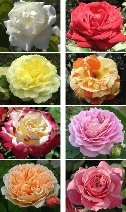 6 превосходных идей, как сделать розарий на даче