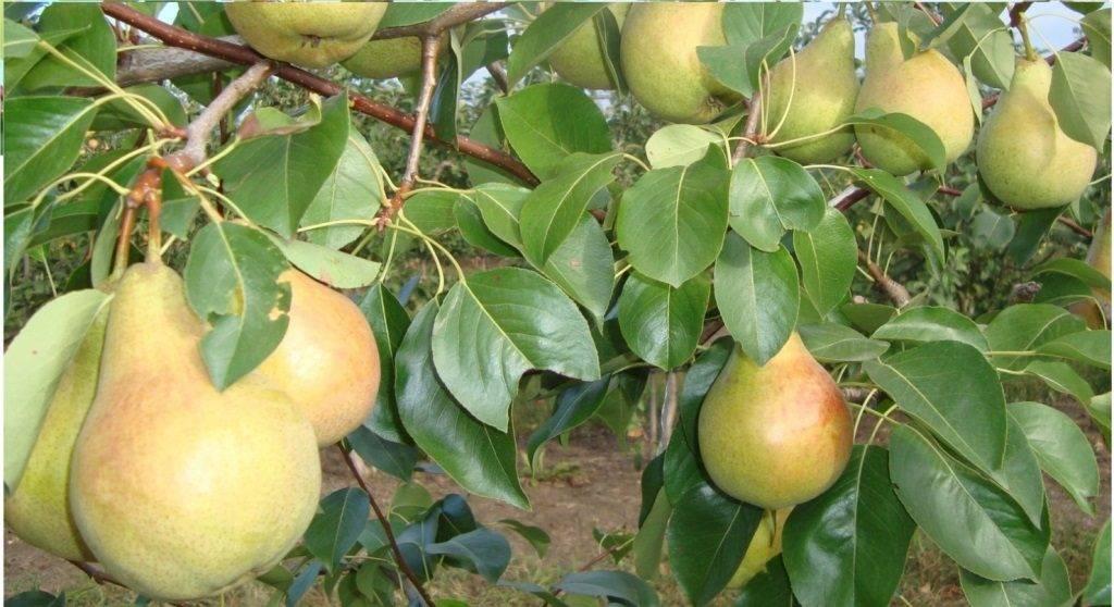 Ясень: где растет и как выглядит фото и подробное описание дерева