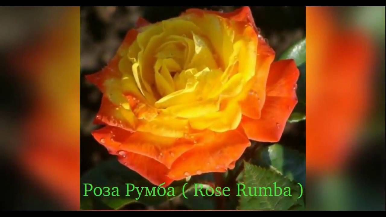 Роза румба энциклопедия роз. роза румба. описание сорта и правила ухода. как появилась группа сортов «флорибунда»