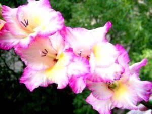 Как вырастить гладиолусы – правила и рекомендации
