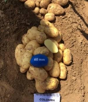 Сорт картофеля «коломбо»: характеристика, описание, урожайность, отзывы и фото