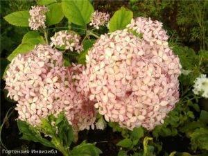 Древовидная гортензия стронг аннабель: особенности выращивания