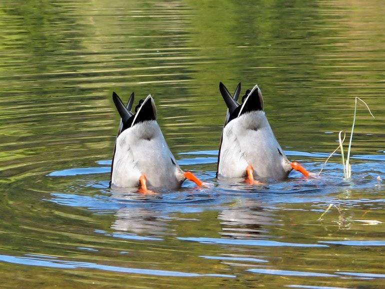 Дикие утки (41 фото): чем их кормить зимой в городе на пруду? названия видов диких уток в россии. сколько живут и как их развести в домашних условиях?