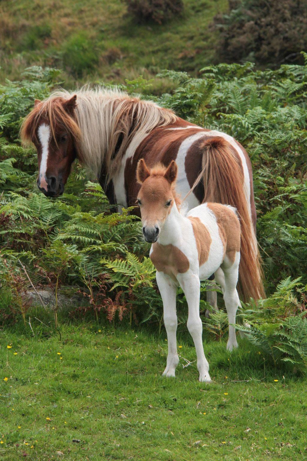Пегая лошадь: какой это цвет, история и уход