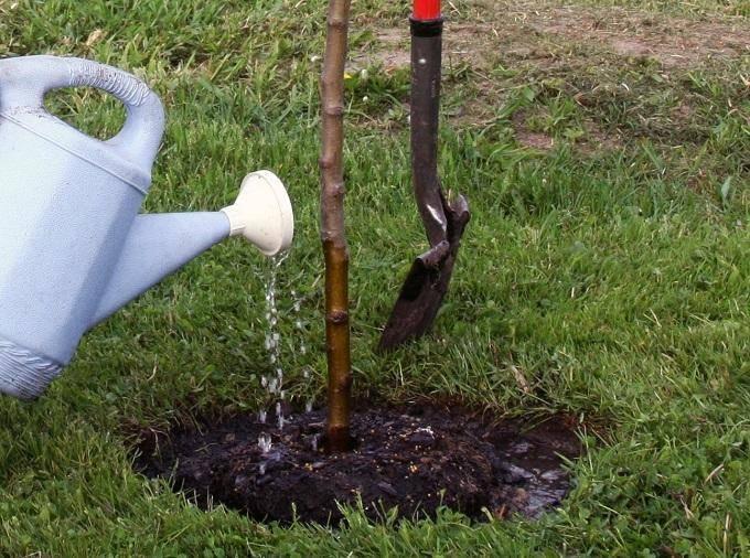 Чем полить дерево, чтобы оно погибло. чем полить дерево, чтобы оно быстро засохло?