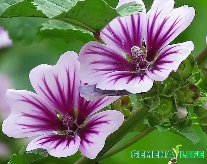 Цветок мальва - правила выращивания и ухода
