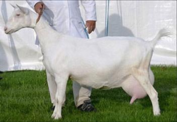 Содержание зааненских коз: кормление, разведение, уход