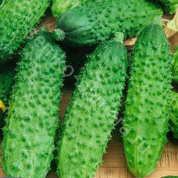 Огурец маша: описание сорта растения, как его правильно выращивать