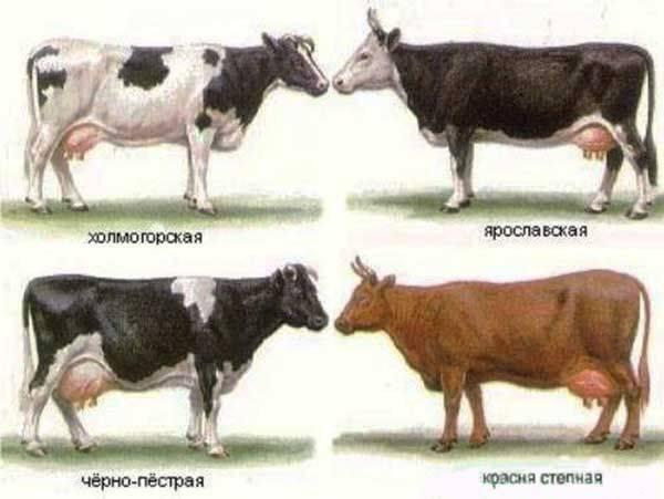 Красные породы коров и их содержание