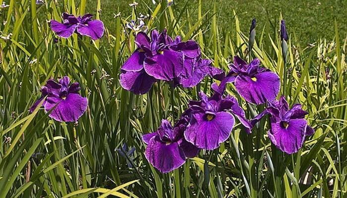 Цветы ирисы – посадка и уход в открытом грунте, фото ирисов, обрезка ирисов и пересадка осенью