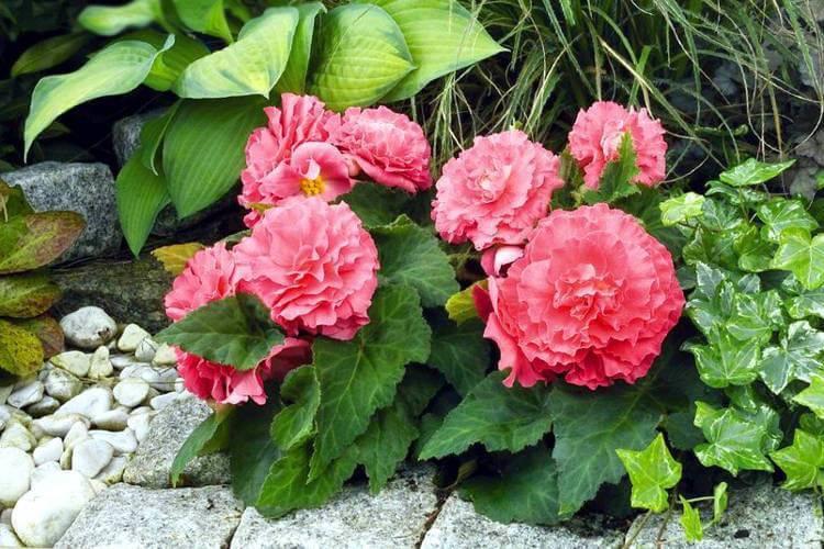 Бегония клубневая (49 фото): как сохранить ее зимой? посадка и тонкости ухода, выращивание бегонии в саду и в домашних условиях
