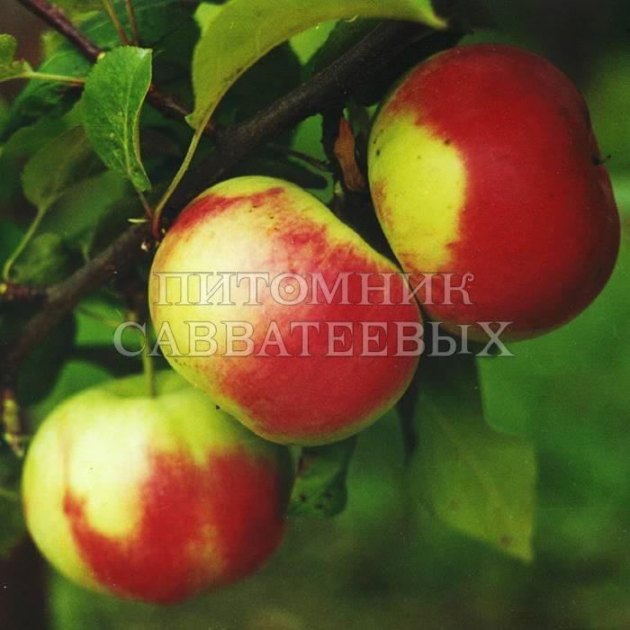 Яблоня брянское: описание и характеристики, плюсы и минусы сорта