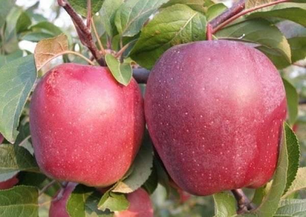 Ботаническое описание и агротехника выращивание яблони сорта лигол