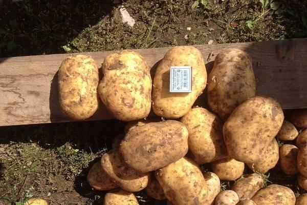 Картофель коломбо: описание сорта, фото, отзывы