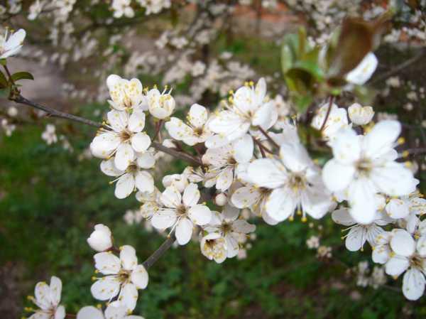 Алыча — сорта для средней полосы и подмосковья: выращивание, посадка и уход