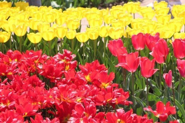 Цветы тюльпаны: фото сортов с названиями и описанием, уход за тюльпанами и советы по выращиванию