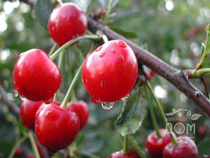 Вишня уральская рубиновая: продуктивный сорт с северной пропиской