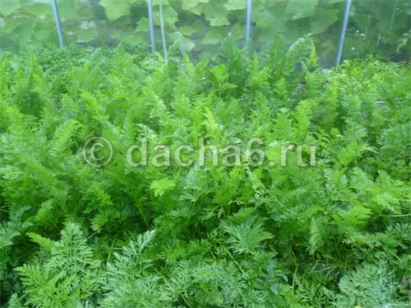 Морковь: выращивание и уход в открытом грунте - подробная инструкция!