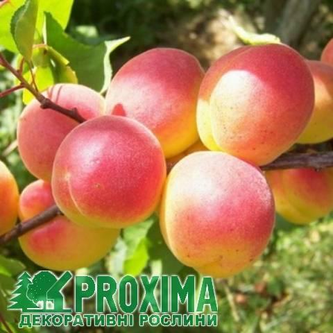 7 лучших зимостойких сортов абрикосов
