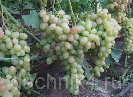 Виноград тасон: характеристика и описание сорта, посадка и уход