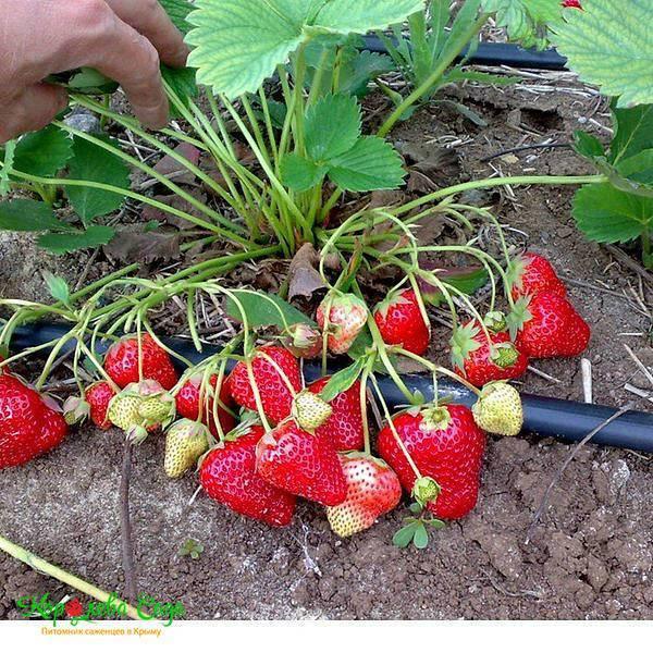Ранняя садовая земляника «альба»: характеристика сорта