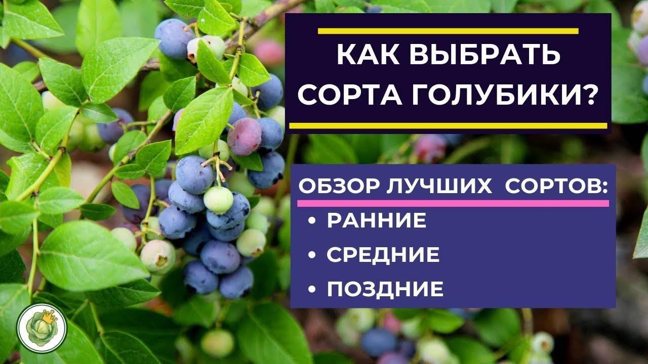 Голубика: описание 25 лучших сортов от ранних до позднеспелых. секреты агротехники и полезные свойства ягоды (фото & видео) +отзывы