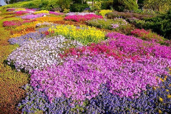 Почвопокровные многолетники в саду, цветущие все лето