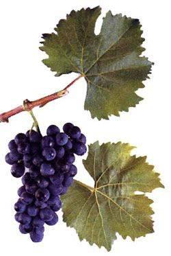 Американский гость — сорт винограда «альфа»