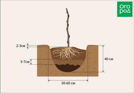 Правила и секреты успешной посадки малины