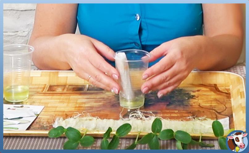 Рассада огурцов: выращивание в домашних условиях, как ее вырастить здоровой и крепкой пошагово с фото