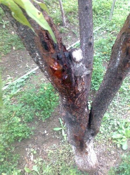 Болезни персика коры и их лечение. курчавость листьев