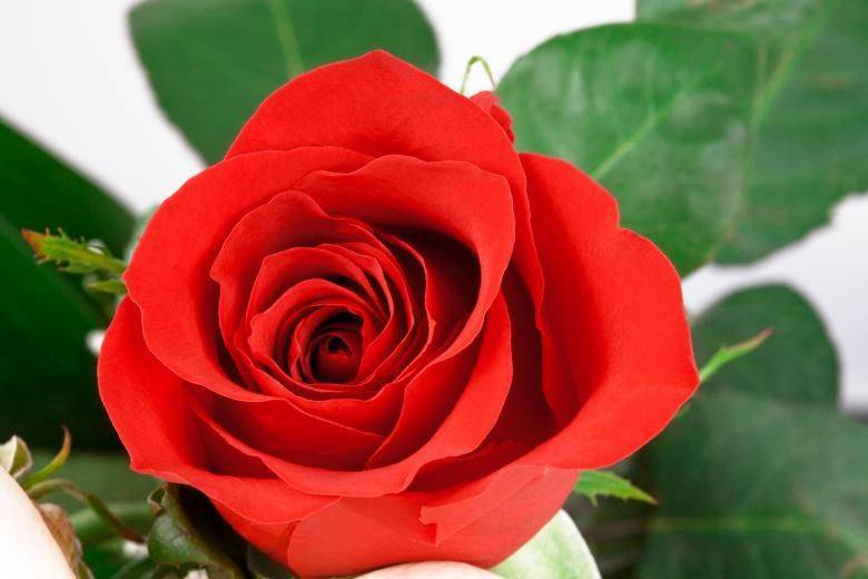 40 сортов чайно-гибридных роз