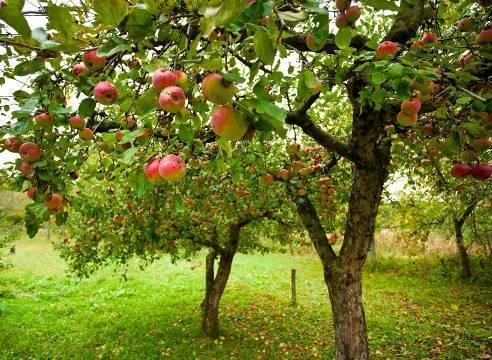 Яблоня — лечебные свойства, применение и рецепты