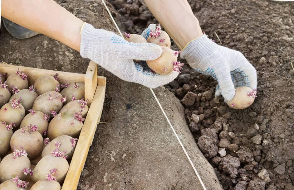Как сажать картошку под лопату: схема, глубина, на каком расстоянии