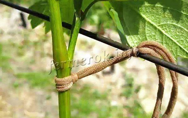 Как подвязать виноград на даче