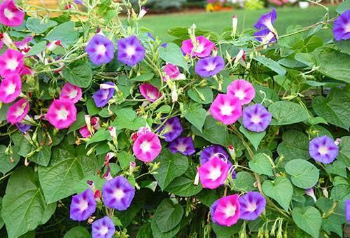 Ипомея батат в цветоводстве