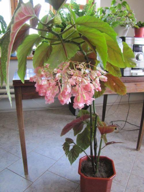 Бегония коралловая — уход за комнатным растением