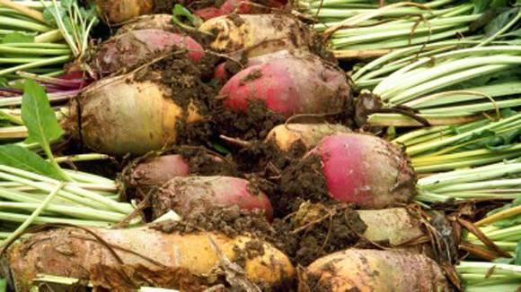 Кормовая свекла: фото, как выглядит растение, и нюансы выращивания его сортов типа урсус поли семенами, а также какова технология возделывания и урожайность с 1 га?